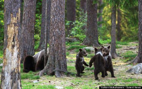 bear cubs play ring   rosie    fall