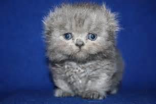 munchkin cat scottish fold scottish fold munchkin cat gif about animals