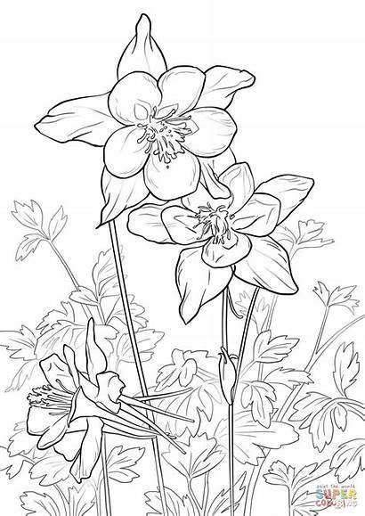 Coloring Columbine Mountain Pages Rocky Flowers Flower