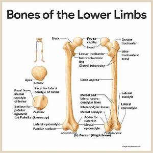 Anatomy And Physiology Diagrams Of Bones