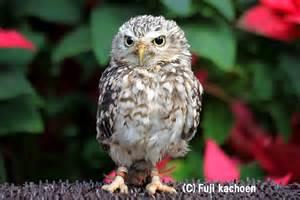 フクロウ:アナホリフクロウ - 世界のフクロウ 富士花鳥園 -