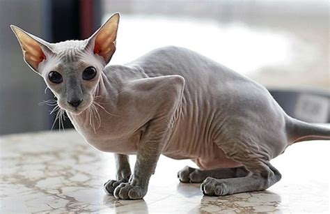 Sphynx Cat  Purrfect Cat Breeds