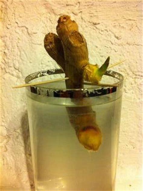 faire pousser du gingembre dans  verre deau