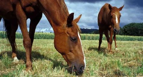 what do horses eat what do horses eat hubpages