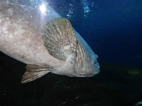 aquarium georgia grouper atlanta tripadvisor