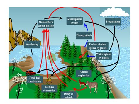 respiration photosynthesis carbon oxygen cycle  kids