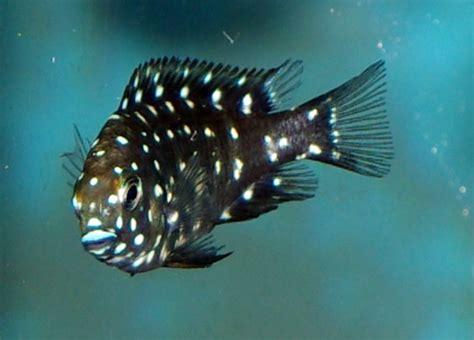 tropheus duboisi poissons exotiques vente magasin