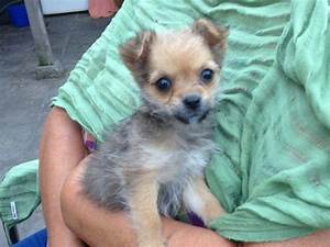 White Chorkie | www.pixshark.com - Images Galleries With A ...