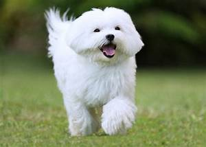 Small white dog breeds - 5 of the best - Practical Paw ...