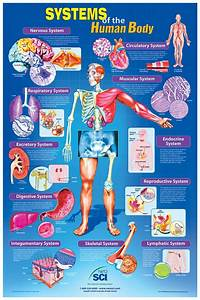 Systems Of The Human Body Poster  Teaching Supplies