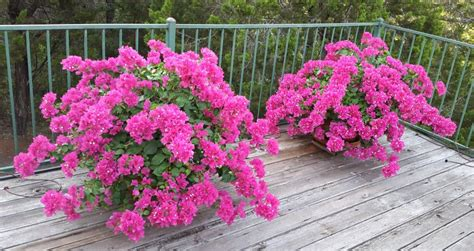 growing bougainvillea in pots how to grow bougainvillea in a pot nurserylive gardening in india