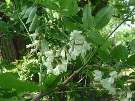 trees with white flowers white flowering trees white pear flowering tree from 04