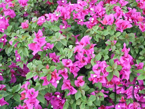 flowering hedges florida hazeltine nurseries flowering shrubs vines venice florida