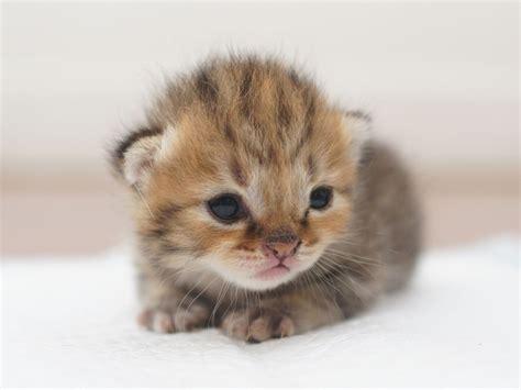 la maman chat siamois toilette ses petits nouveau n 233 s