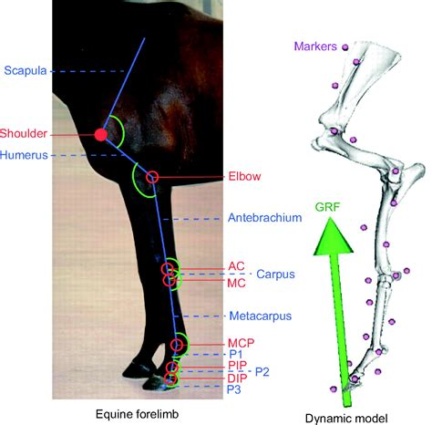 forelimb muscle activity  equine locomotion