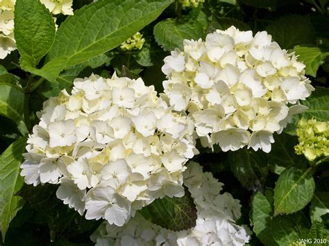 hydrangeas white flowers this pure white hydrangea macrophylla is probably quot blushing bride and is beautiful