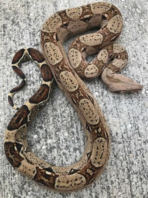 colombian red tail boas  sale snakes  sunset