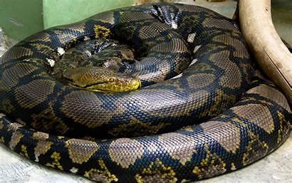 Anaconda Snake Reptile Circle Animals Wallpapers Background