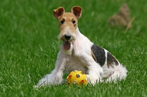 wire haired fox terrier grooming tips hairstylecamp