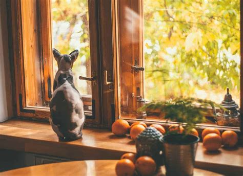cat expensive cats sphynx why window looking most anxiety separation complete guide photographer