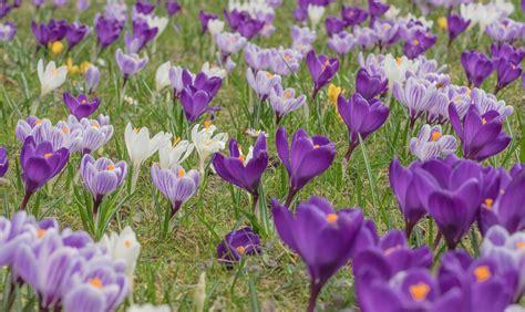 fiore di zafferano come riconoscere il falso zafferano velenoso casafacile