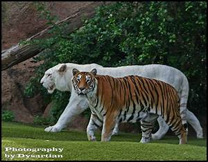 Image Gallery lion and liger comparison
