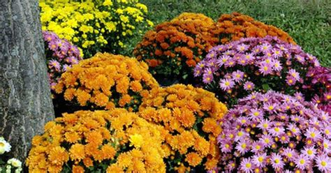 planting mums how to grow care for chrysanthemum flower plants ehow uk