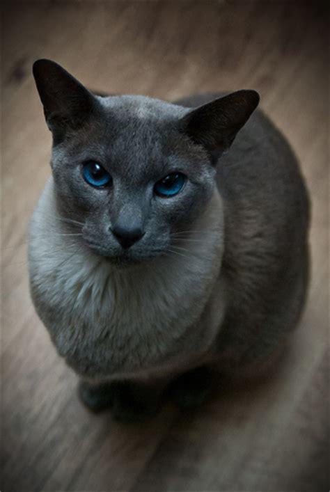 Blue Point Siamese Cat Enwikipediaorgwikisiamese