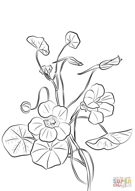 nasturtium coloring page  printable coloring pages