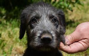 Irish Wolfhound Puppies Breed information & Puppies for Sale