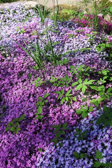 20 Beautiful Low Growing Ground Cover Plants For Gardens