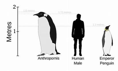 Penguins Penguin Svg V1 Emperor Human Height