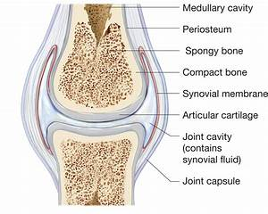 Typical Synovial Joint Structure At La Sierra University