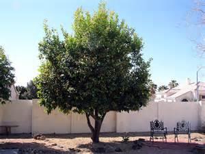 Arizona Fruit Trees