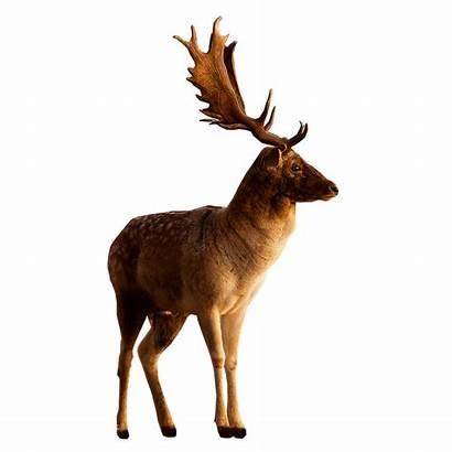 Deer Side Looking Male Clipart Transparent Head