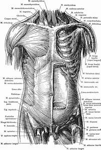 Anterior View Of The Muscles Of The Trunk