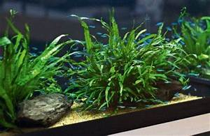 Simple low tech tank Green Neon Tetras Microsorum