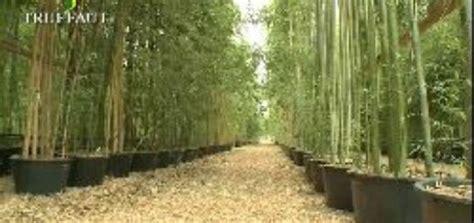 bambou geant en pot pivoine etc