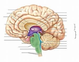 Diencephalon And Brain Stem