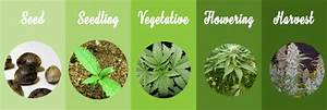 Marijuana Growth Stages  Learn How Marijuana Plants Grow