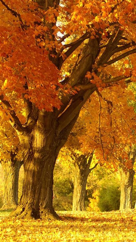 Brown Tree Iphone Wallpaper by Golden Autumn Tree Smart Phone Wallpaper Background