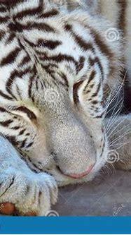 Bengal White Tiger Panthera Tigris Sleeping Stock Photo ...