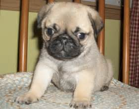 Baby Pug Puppies Sale