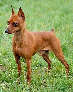 red miniature pinscher - Google Search | Red | Pinterest ...