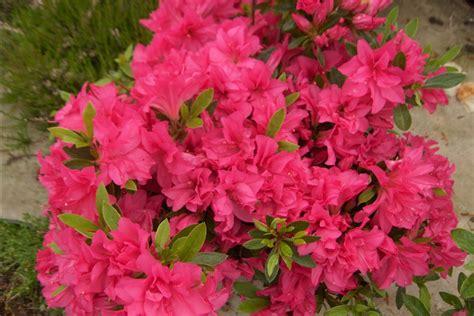 azalea japonica en pot azalea japonica rosa king azal 233 e japonaise rosa king toutes les plantes avec florum
