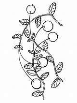 Cranberry Coloring Pages Berries Colouring Print Fruits Printable Colors Recommended Picolour sketch template