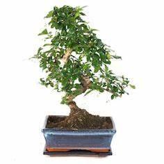 Bonsai Baum Schneiden : bonsai pflege und schneiden f r anf nger bonsai pinterest bonsai bonsai pflege und ~ Frokenaadalensverden.com Haus und Dekorationen