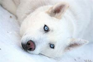 Cute Husky Puppies In Snow | Black Models Picture