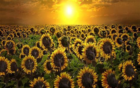 Sunrise And Sun Flowers Wallpapers Sunrise And Sun Flowers