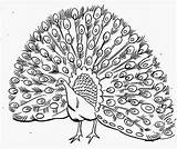 Peacock Coloring Pages Drawing Realistic Printable Simple Male Outline Line Colour Peafowl Kid Its Plumage Open Cartoon Kidsplaycolor Colours Getdrawings sketch template